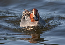 The Eurasian Teal Is The Smallest Dabbling Duck