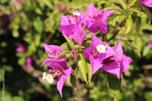 Purple paperflower or lesser bougainvillea in innsbruck austria purple paperflower or lesser bougainvillea in innsbruck austria its scientific mightylinksfo