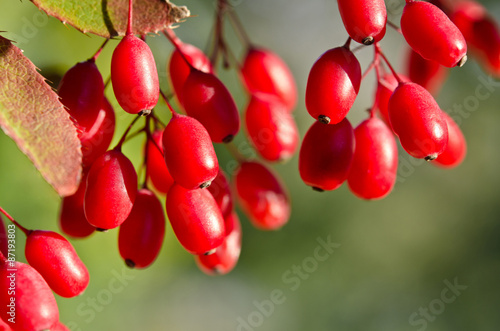 Photo Red barberry berries on the tree