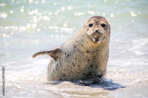 Foto op Plexiglas Noordzee Kegelrobbe am Strand von Helgoland