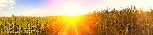 Photo Maisfeld in der Sonne - Panoramaaufnahme