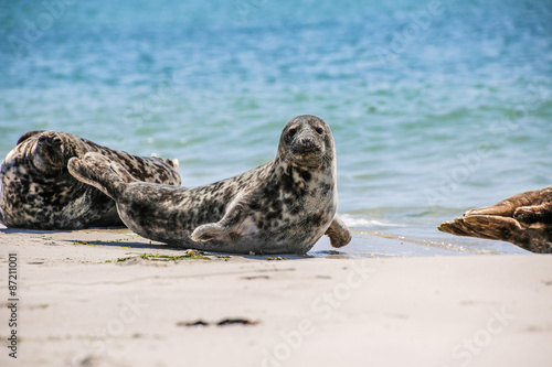 Fotobehang Leeuw Kegelrobbe am Strand von Helgoland