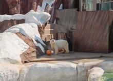 Polar Bear (Ursus Maritimus) I...
