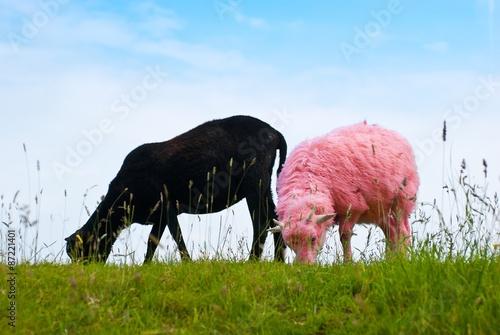 Foto op Aluminium Schapen Farbiges Schaf 1: Pink