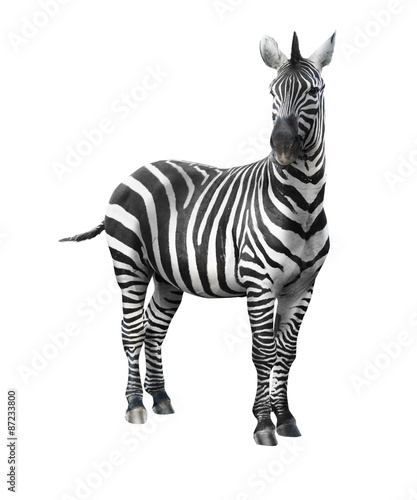 Foto op Canvas Zebra Zebra isolated on white background