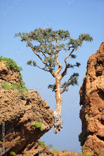 Fototapeta Tree growing on the edge in Socotra island, Yemen obraz na płótnie