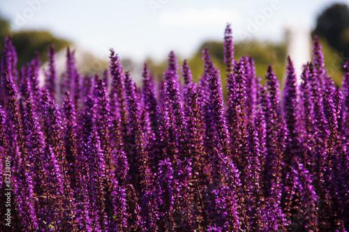 Field of purple flowers - 87238075
