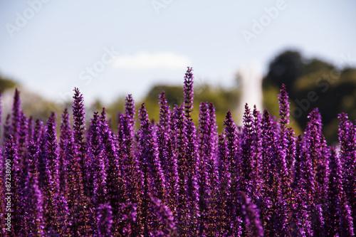 Field of purple flowers Fototapeta