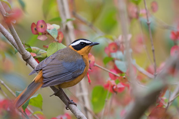 White-browed robin-chat (Cossypha heuglini) perched in a floweri