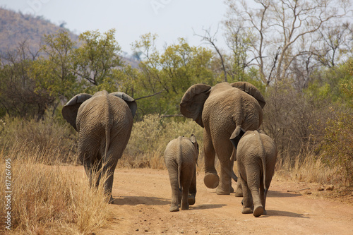 Obraz African elephants walking away - fototapety do salonu