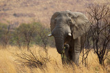 Large African elephant eating