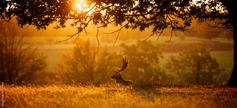 Sunrise. A fallow deer buck resting one autumn morning