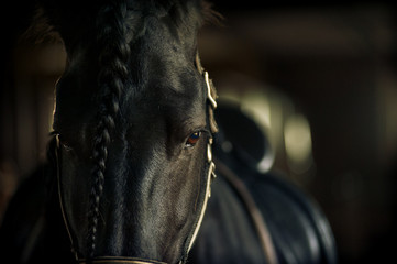 Frisian stallion closeup in equine ammunition inside the stable