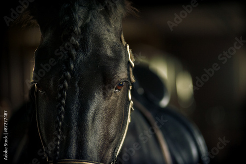 Fototapeta Frisian stallion closeup in equine ammunition inside the stable obraz