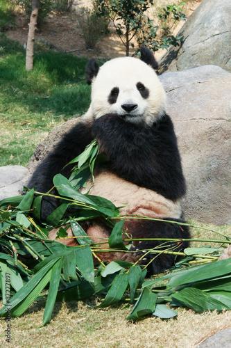 Stickers pour portes Panda Panda eating bamboo