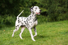 Dalmatian Dog Walking Outdoors...