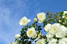 White Rose Flowers Against Blue Sky