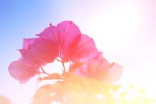 Bougainvillea Flowers Sweet Tone