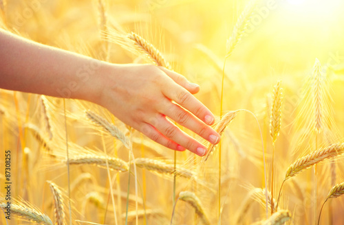 Girl's hand touching yellow wheat ears closeup. Harvest concept Fototapete