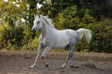 Galloping arabian sportive breed horse in corral