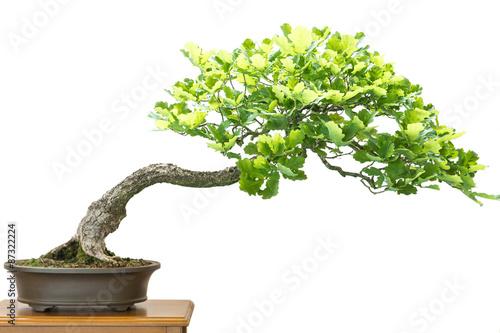 Spoed Fotobehang Bonsai Eiche (Quercus robur) als Bonsai Baum