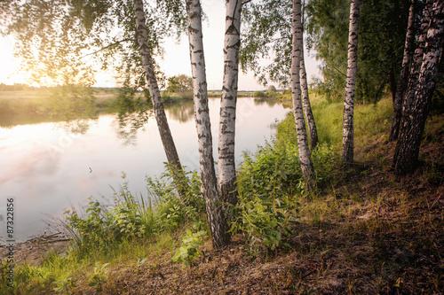 slender birch