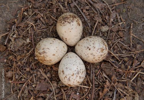 Fényképezés  Eurasian woodcock (Scolopax rusticola) nest with eggs