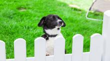 Dog Looks Over The Garden Fence