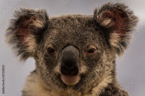 Keuken foto achterwand Koala exploring the east coast of australia by camper