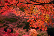 Momiji, Japanese Maple In Autu...