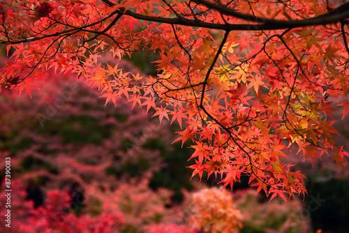Photo sur Aluminium Kyoto Momiji, Japanese maple in autumn season