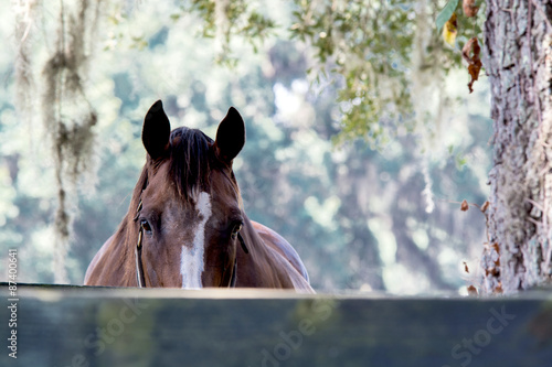 Adult horse peaking over a fence at the camera