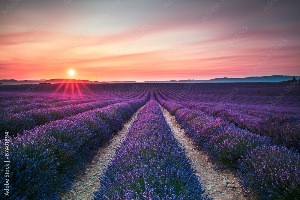 Lavender flower blooming fields endless rows on sunset. Valensol