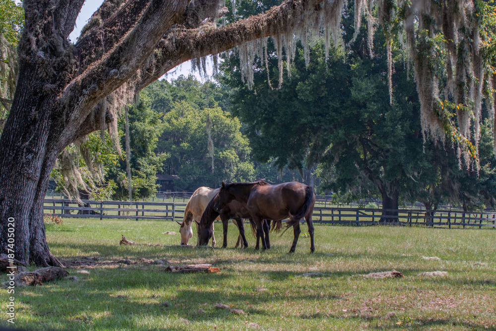 Valokuva  Three horses in a pasture with live oak tree and draping Spanish moss