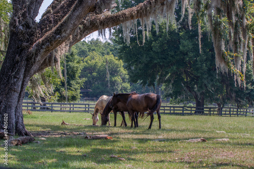 Three horses in a pasture with live oak tree and draping Spanish moss Poster