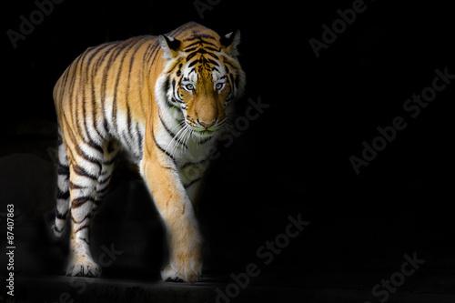 Foto auf AluDibond Tiger young sumatran tiger