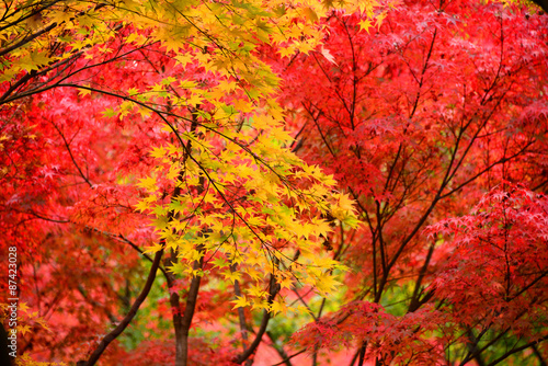 Japanese maple, Momiji tree red leaves in autumn season
