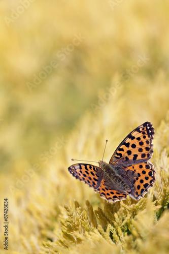 Fotografie, Obraz  Macro of Queen of Spain Fritillari butterfly