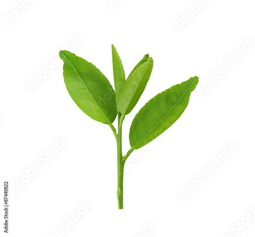 Poster Muguet de mai Fresh green leafs of young plant isolated on white.