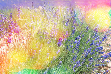 Obraz Blossoming of lavender flowers in Valensole, Provence. Vintage s