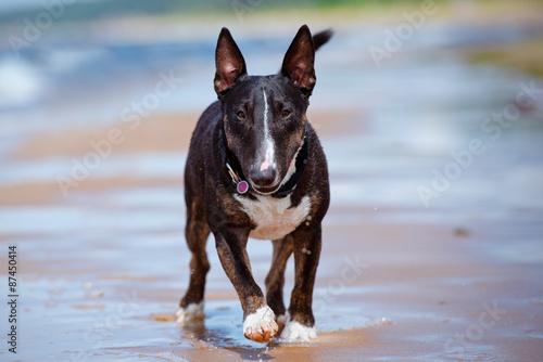 Foto english bull terrier dog walking on the beach