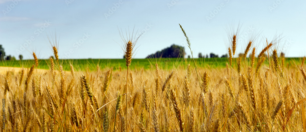 Fototapety, obrazy: Wheat field agriculture