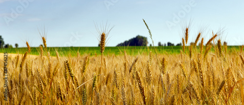 Wheat field agriculture Wallpaper Mural