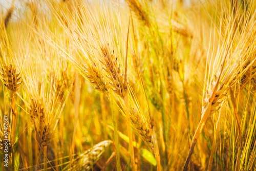 Golden Wheat With Bokeh Blur Spikes Of Wheat Closeup