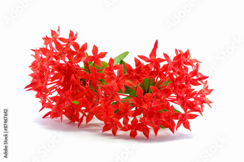 Photo  Red ixora flower isolated on white with green leaves  background