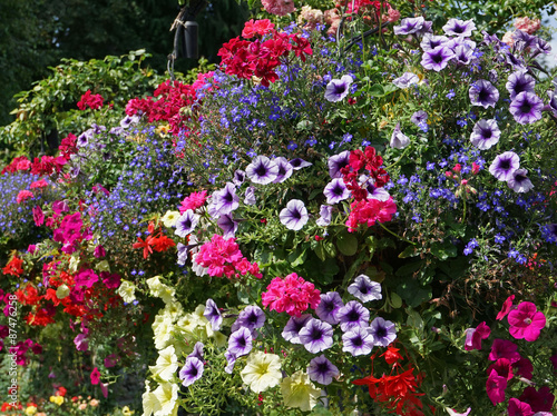 petunias and geraniums in hanging floral baskets