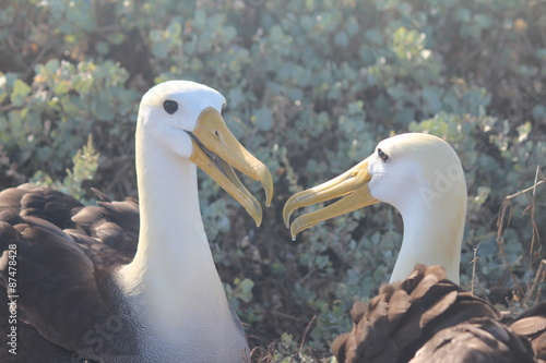 Fotografija  Waved Albatross