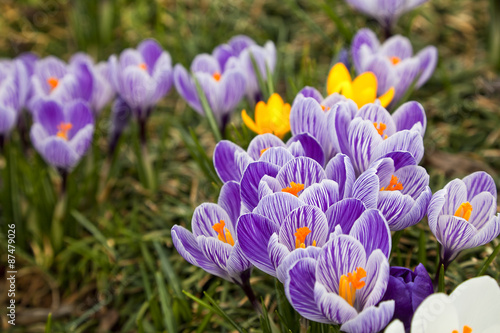 Foto op Canvas Krokussen Purple and White Crocus