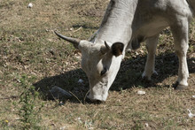 White Cow In Irpinia. Italy . Cow White Fur. Full Body. Eating Grass In Open Fields. Day Summer Sun.