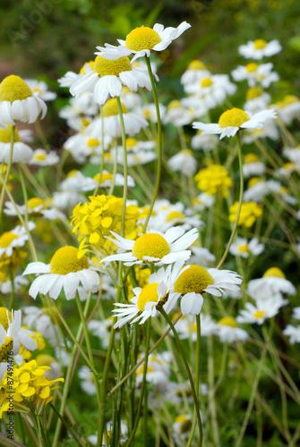 Staande foto Lente chamomile flowers